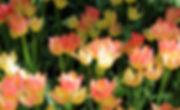 photographe francais french photographer travel traveler photography photographie voyage voyageur angle home brice retailleau quintessence de voisinage bright website backpack backpacking backpacker beauty best composition perspective pure light colorful colourful couleurs scenic view point of de vue viewpoint trip tour du monde around the world earth wonderful beautiful gorgeous amazing journey destination tourisme tourism backpacking , spring printemps nature close up vegetation flora europe holland hollande pays bas garden jardin tulip tulipe tulips tulipes keukenhof parc park pink roses rose