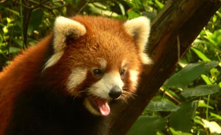 Centre de recherche sur le Panda géant de Chengdu, Sichuan, Chine