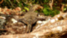 photograhe francais french photographer travel photography photographie voyage landscape paysage fauna faune animal dragon lezard varan asie asie thailand thailande khao yai