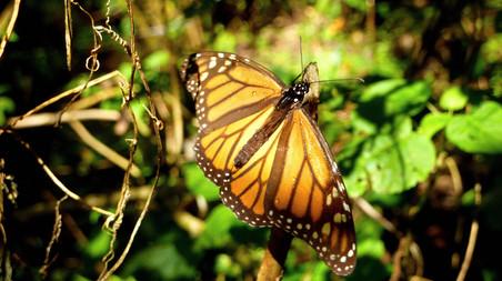 Reserva de la Biosfera Mariposa Monarca, Michoacan, Mexico