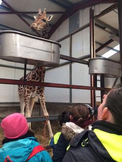 Tadhg the Giraffe