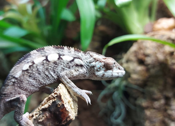 Female Nosy Faly Panther Chameleon