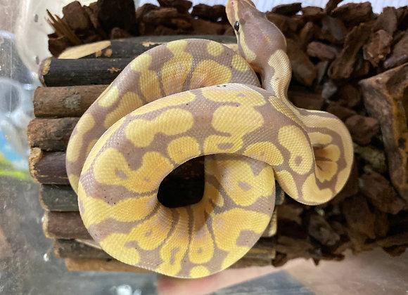 Hatchling Banana enchi royal pythons