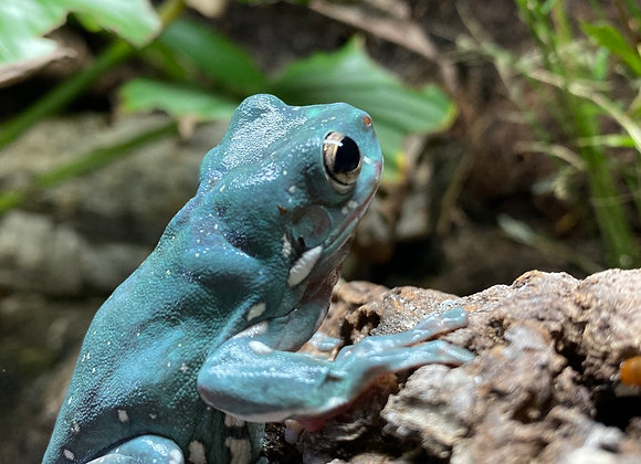 Sub adult whites tree frogs