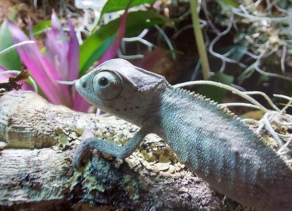 Male Sambava Panther Chameleon