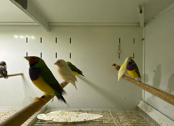 Yellow Gouldian finches chicks