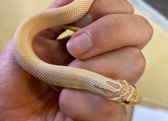 Albino Superconda western hognose
