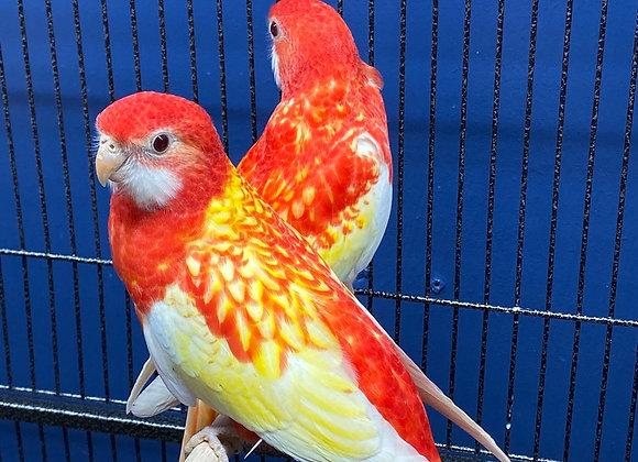 Rubino rosella PAIR