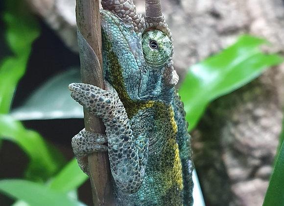 Pair of Jacksons chameleon
