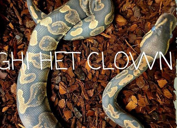 GHI het clown royal python