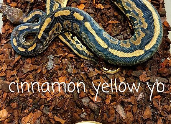 CinnamonYB het pied royal python