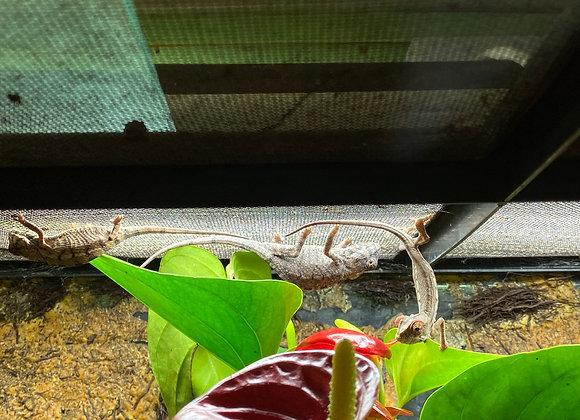 Juvenile nosy be panther chameleons