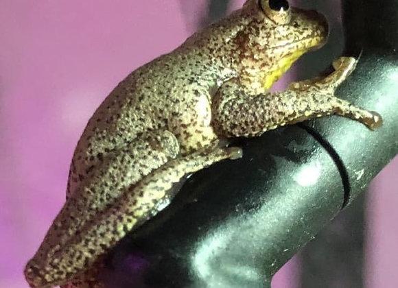 Columbian tree frogs
