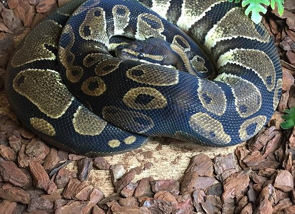 Enchi woma royal python