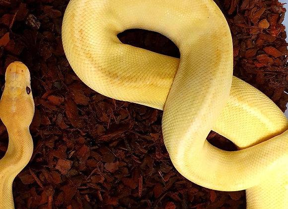 Mimosa Royal Python
