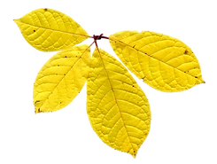 Dry Yellow Leaf
