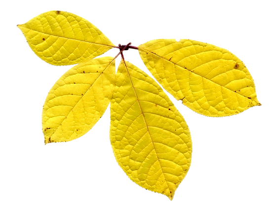 yellow pressed leaves