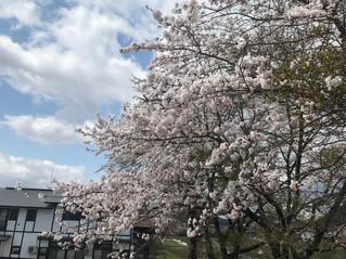 金山町の桜