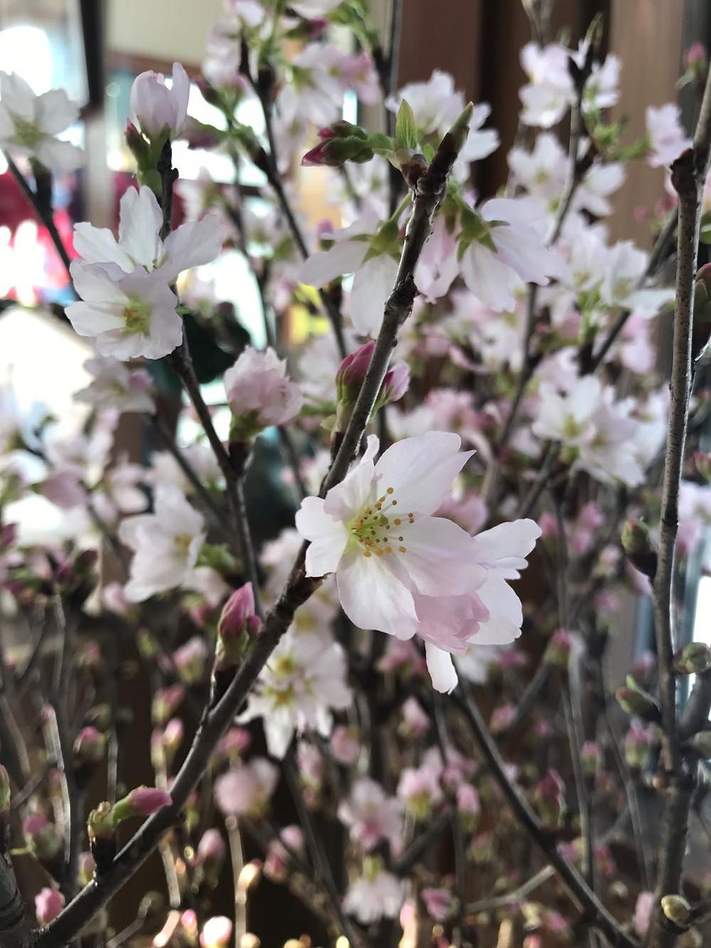 啓翁桜。一足早い春ですね