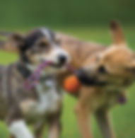 Perros jugando guarderia canina