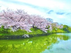 与保呂川桜並木