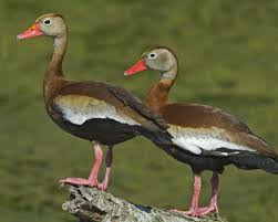 What kind of ducks are these?