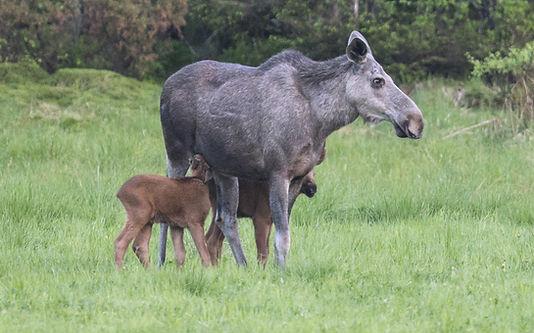 elg-and-calf-1600x999.jpg