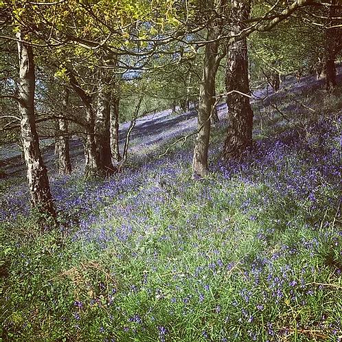 Bluebells On Jubilee Drive Malvern