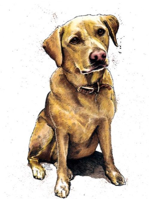 Daisy The Yellow Labrador