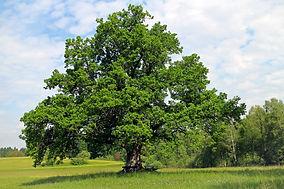 oak-354641_1920.jpg