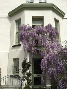 When the wisteria takes over