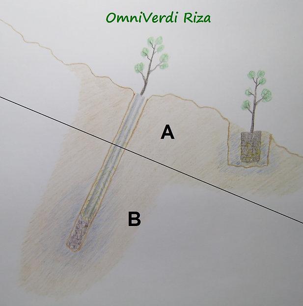 omniverdi riza seedling versus normal seedling