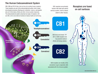 What Does Activating the Endocannabinoid System Mean?