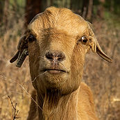 -GoatFace-square.jpg