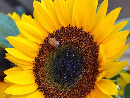 Bumble Bee Daisy