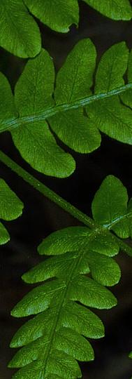 Fern Petals