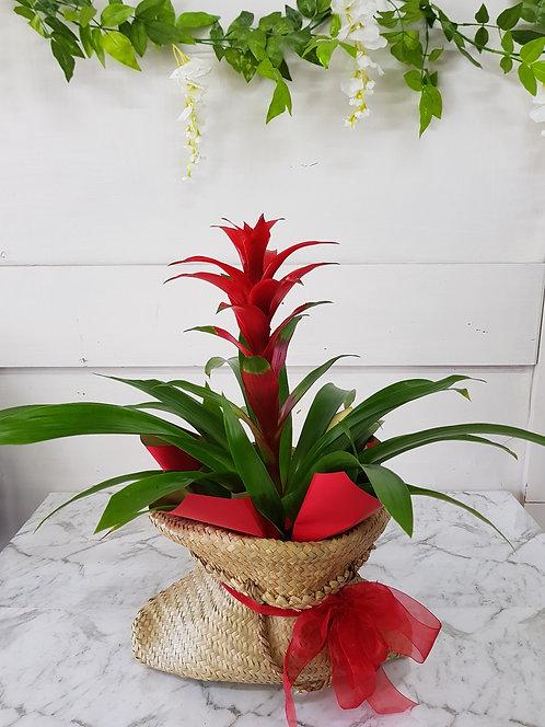 Bromeliad Plant in Flax Bag