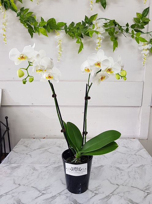 Phalanopsis Orchid Plant