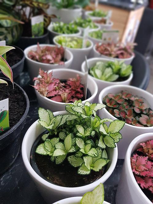 Fittonia Plant Mini