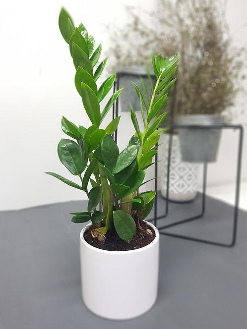 Zamioculcas Plant 15cm
