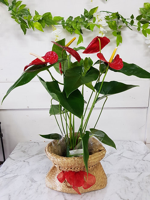 "Anthurium Plant ""Air Purifying"""