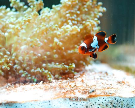 Lightning Maroon Clownfish
