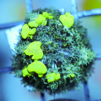 Green Toxic Bounce Mushroom