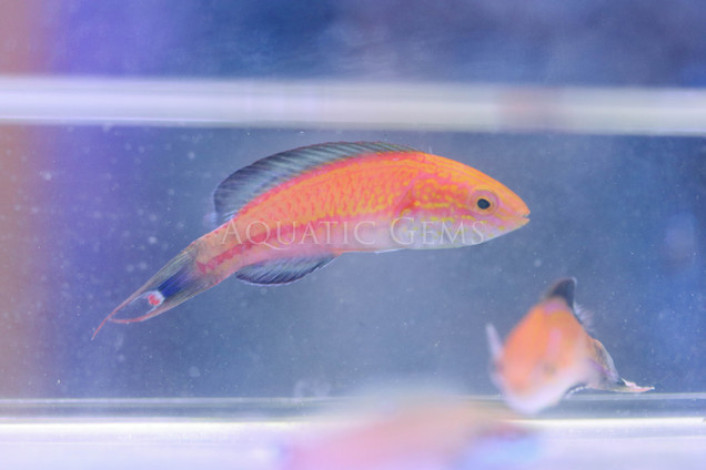 Crescent Tail Fairy Wrasse