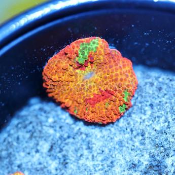 Tye Dye Jawbreaker Mushroom