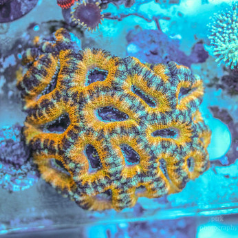 Yellow Acan