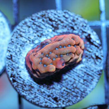 Flaming Phoenix Montipora