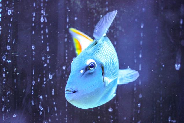 Kiri Triggerfish