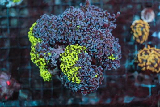 Bi-Color Octospawn Euphyllia