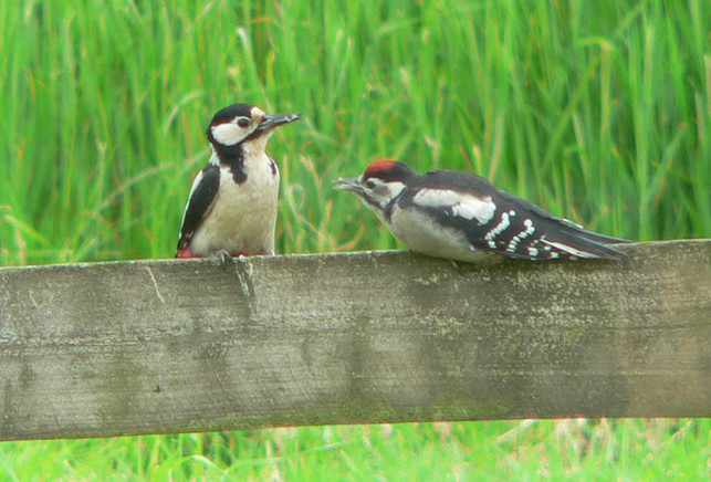 Heron woodpeckers1.jpg